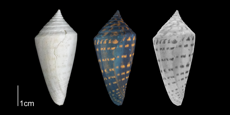 <i>Conus anabathrum</i> from the Plio-Pleistocene of Highlands County, Florida shown under regular and ultraviolet light, which causes its original coloration pattern to be revealed (PRI 70608).