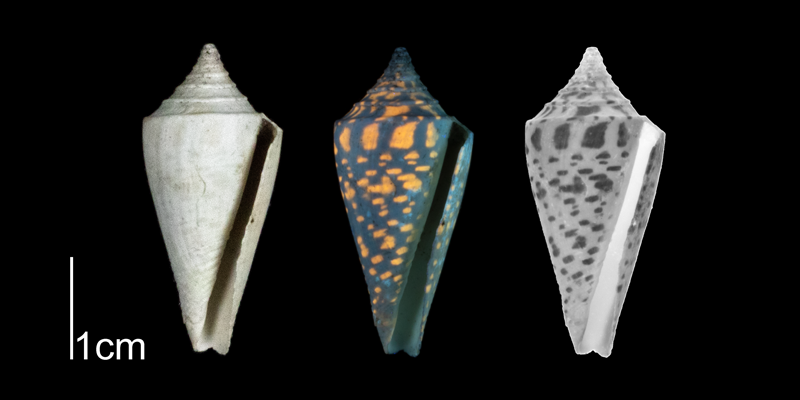 <i>Conus anabathrum</i> from the Plio-Pleistocene of Highlands County, Florida shown under regular and ultraviolet light, which causes its original coloration pattern to be revealed (PRI 70616).