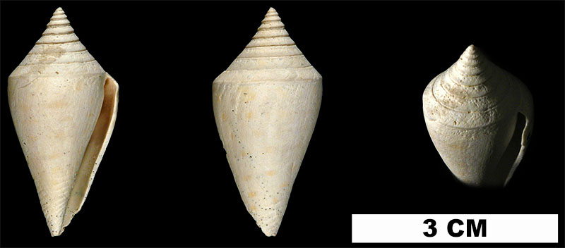 <i>Conus anabathrum</i> from the Late Pliocene Tamiami Fm. (Pinecrest Beds) of Miami-Dade County, Florida (UF 13495).