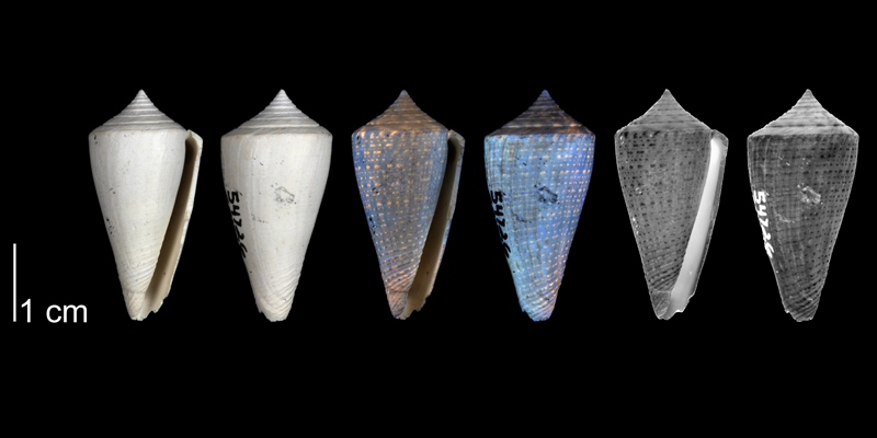 <i>Conus bassi</i> from the upper Pliocene Tamiami Fm. (Pinecrest Beds) of Sarasota County, Florida, showing coloration pattern revealed by ultraviolet light (PRI 54726).