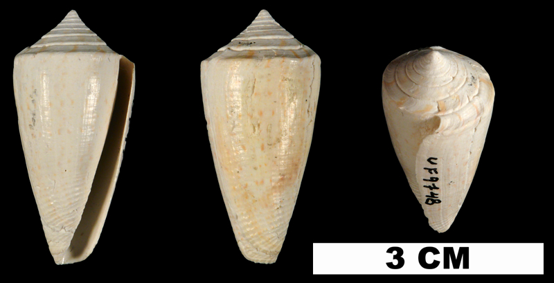 <i>Conus bassi</i> from the Plio-Pleistocene (formation unknown) of Sarasota County, Florida (UF 9748).
