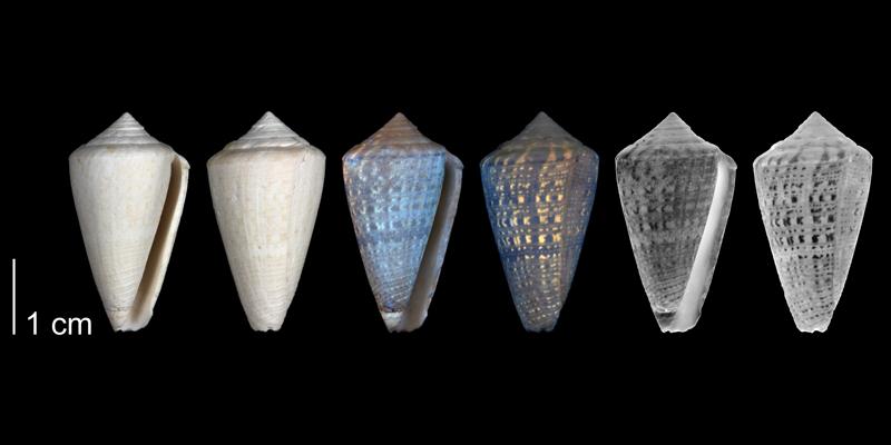 Paratype of <i>Conus burnetti</i> from the upper Pliocene Tamiami Fm. (Pinecrest Beds) of Collier County, Florida (PRI 54720).