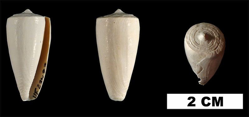 <i>Conus daucus</i> from the Early Pleistocene Caloosahatchee Fm. of Hendry County, Florida (UF 23492).