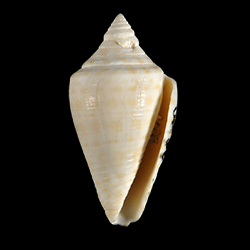 Conus evergladesensis