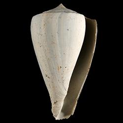 Conus haytensis