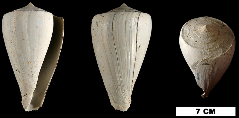 <i>Conus haytensis</i> from the Plio-Pleistocene (formation unknown) of Hendry County, Florida (UF 110405).