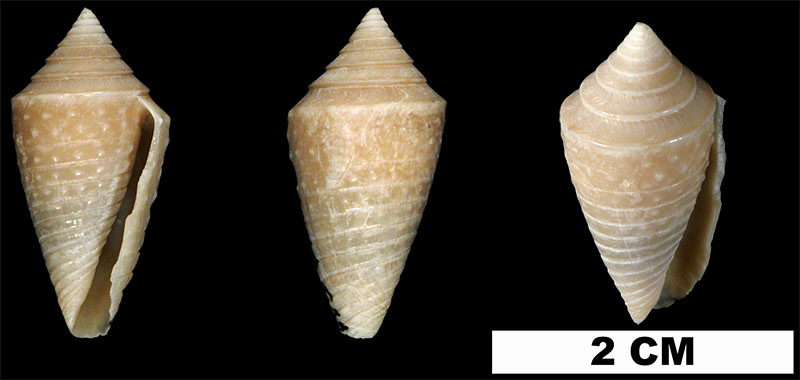 <i>Conasprella jaspidea</i> from the Middle Pleistocene Bermont Fm. of Miami-Dade County, Florida (UF 52954).