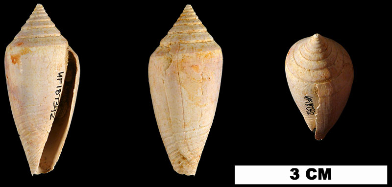 <i>Conasprella marylandica</i> from the Late Pliocene Duplin Fm. of Columbus/Robeson Counties, North Carolina (UF 187392).