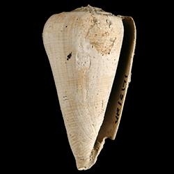 Conus miamiensis