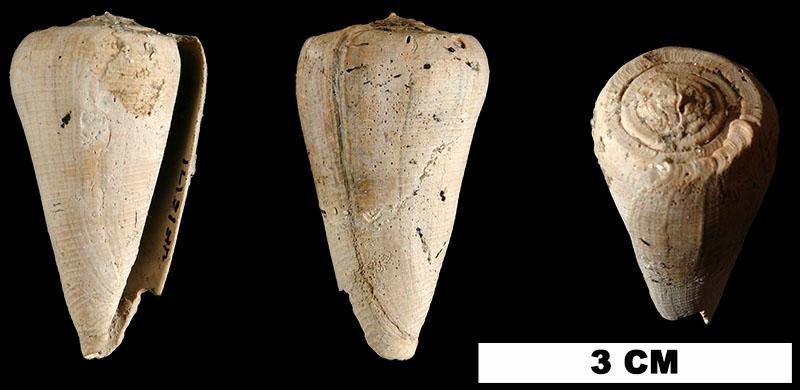 <i>Conus miamiensis</i> from the Plio-Pleistocene (formation unknown) of Sarasota County, Florida (UF 16171).