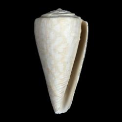 Conus paranobilis