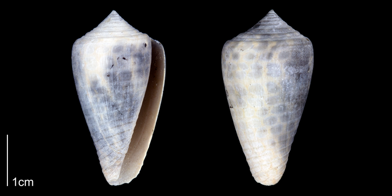 <i>Conus yaquensis</i> from the Late Pliocene Tamiami Fm. of Sarasota County, Florida (PRI 70345). Photographed under ultraviolet light to reveal original pattern.