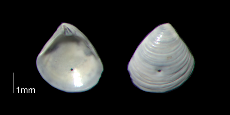 <i>Crassinella dupliniana</i> from the Early Pleistocene Waccamaw Fm. of Brunswick County, North Carolina (PRI 70395-3).