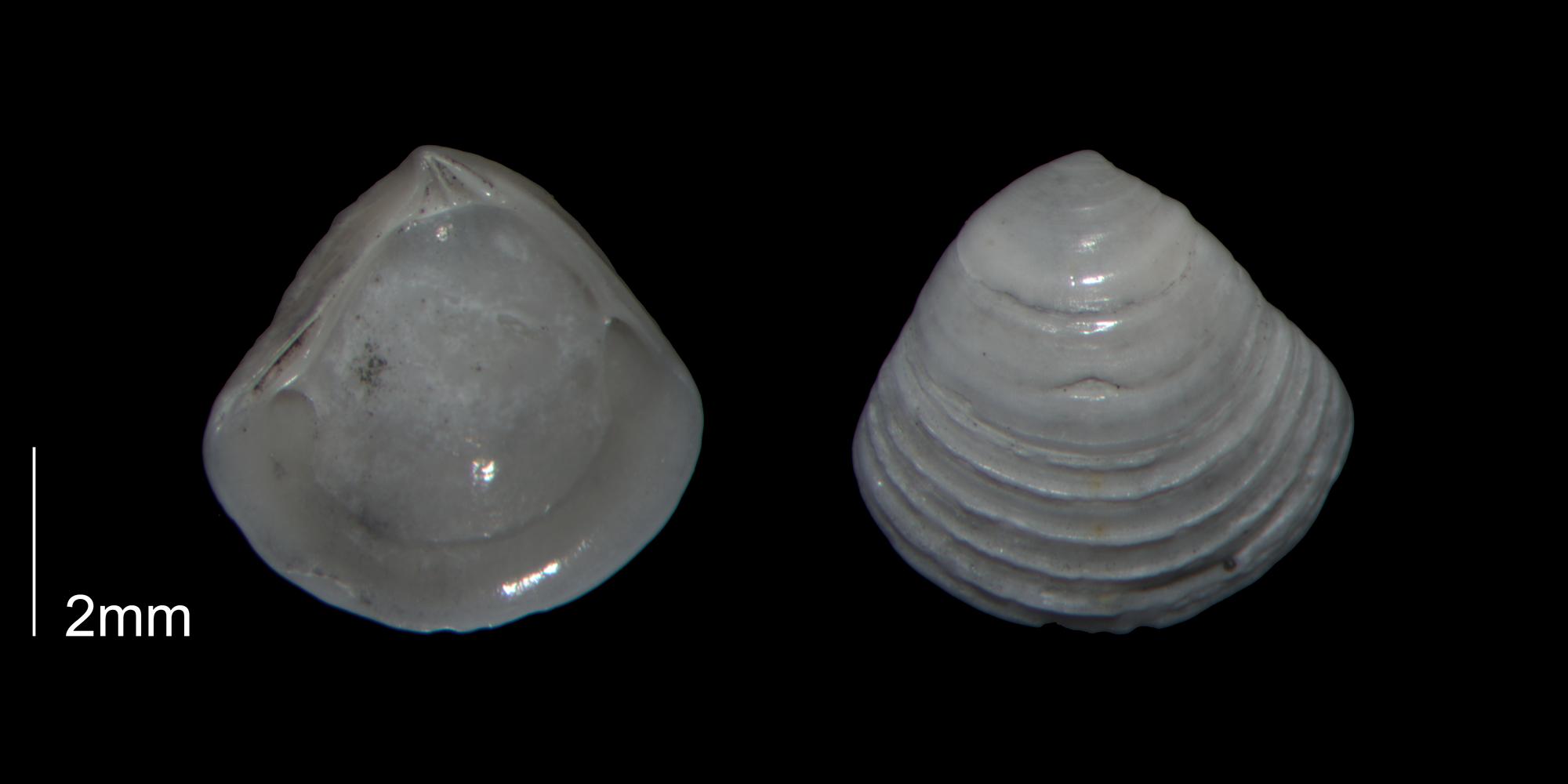 <i>Crassinella johnsoni</i> from the Early Pleistocene Waccamaw Fm. of Brunswick County, North Carolina (PRI 70455).