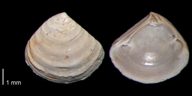 <i>Crassinella lunulata</i> from the Early Pleistocene James City Fm. of Beaufort County, North Carolina (PRI 70487).