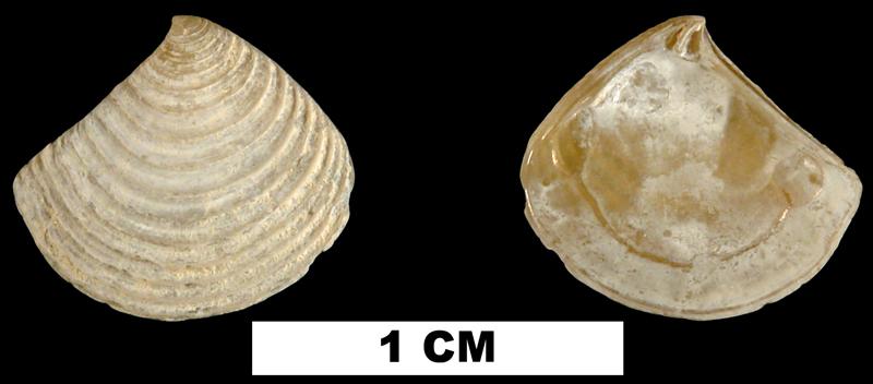 <i>Crassinella lunulata</i> from the Middle Pleistocene Bermont Fm. of Palm Beach County, Florida (UF 122794).