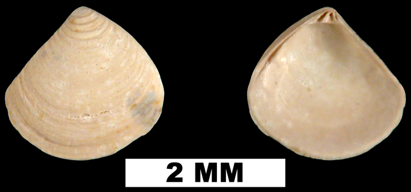 <i>Crassinella tanica</i> from the Middle Miocene Shoal River Formation of Walton County, Florida (UF 89913).