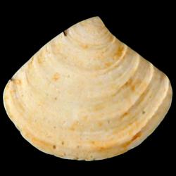 Crassinella triangulata