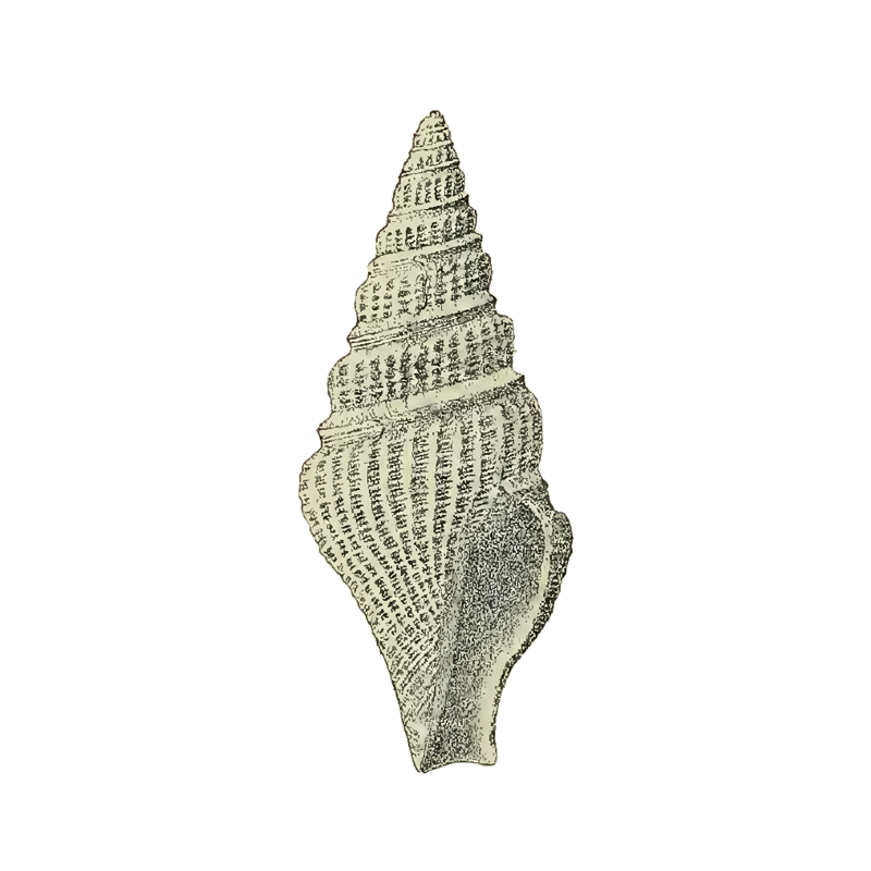 Specimen of <i>Crassispira calligona</i> figured by Maury (1910, pl. 2, fig. 1); 19 mm in length.