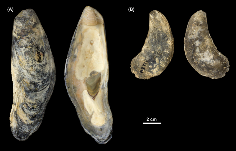 <i>Crassostrea virginica</i> right valves from (A) the Pleistocene Talbot Fm. of St. Mary's County, Maryland (PRI 69993) and (B) the Pliocene Tamiami Fm. of Florida (unknown county; PRI 69994).