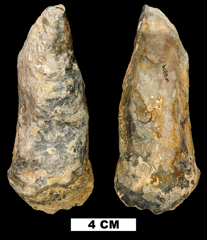 <i>Crassostrea normalis</i> from the Early Miocene Chipola Fm. of Calhoun County, Florida (UF 8809).