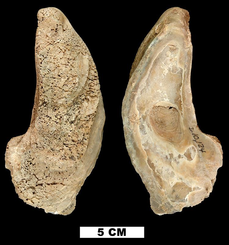 <i>Crassostrea virginica</i> from the Early Pleistocene Caloosahatchee Fm. of Hendry County, Florida (UF 99420).