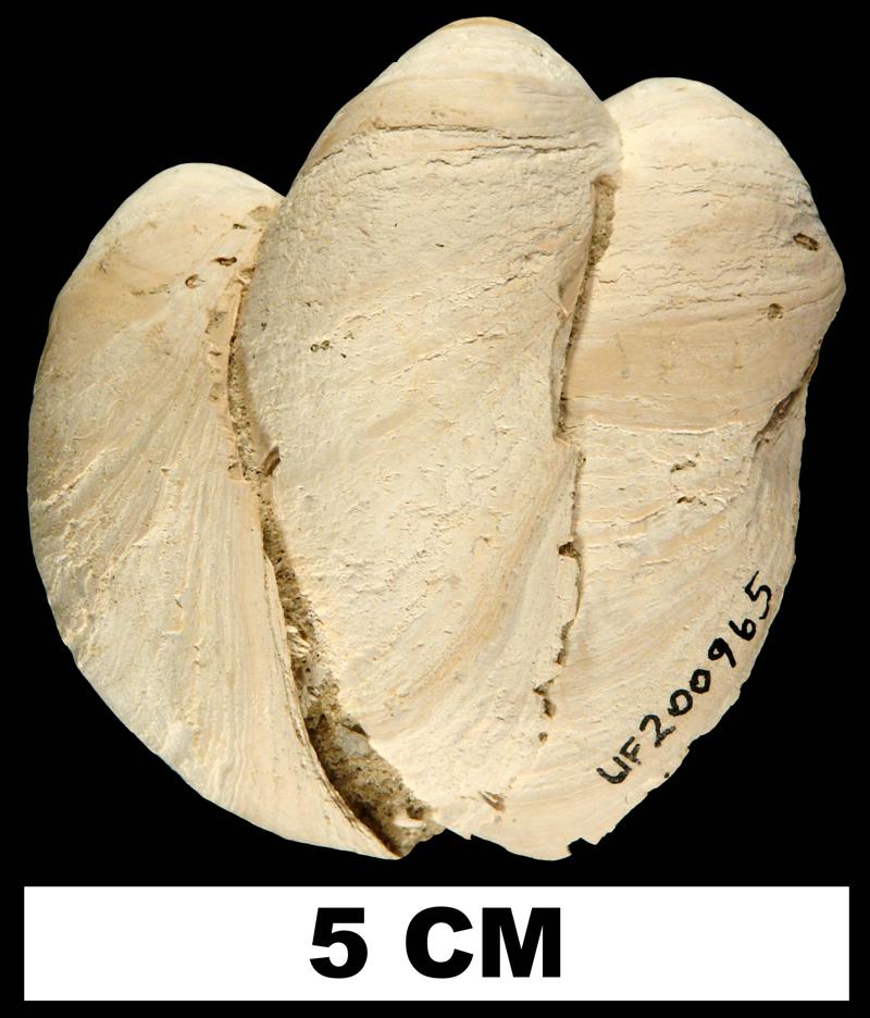 Multiple specimens of <i>Crepidula fornicata</i> from the Early Pleistocene Nashua Fm. of St. Johns County, Florida (UF 200965).