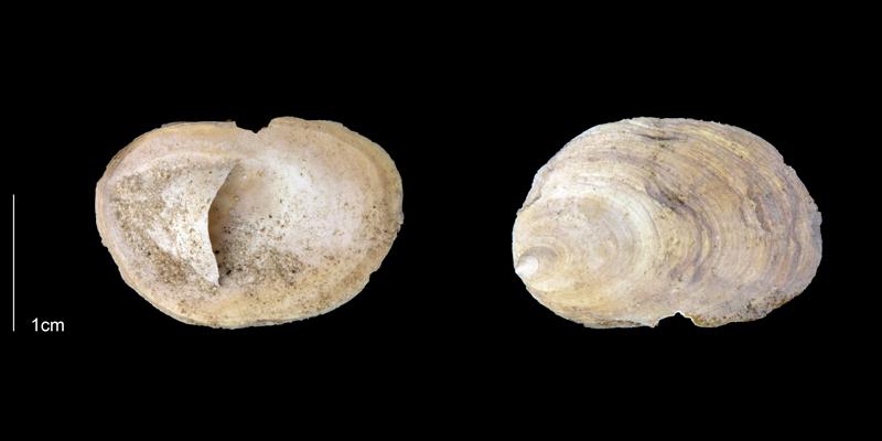<i>Crepidula plana</i> from the Late Pliocene Tamiami Fm. (Pinecrest Beds) of Sarasota County, Florida (PRI 70080).
