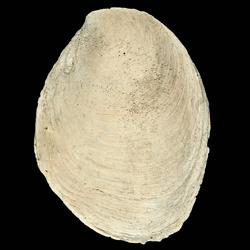 Crepidula plana