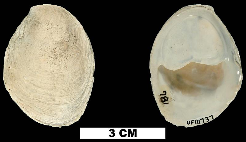 <i>Crepidula plana</i> from the Late Pliocene Tamiami Fm. (Pinecrest Beds) of Sarasota County, Florida (UF 111737).