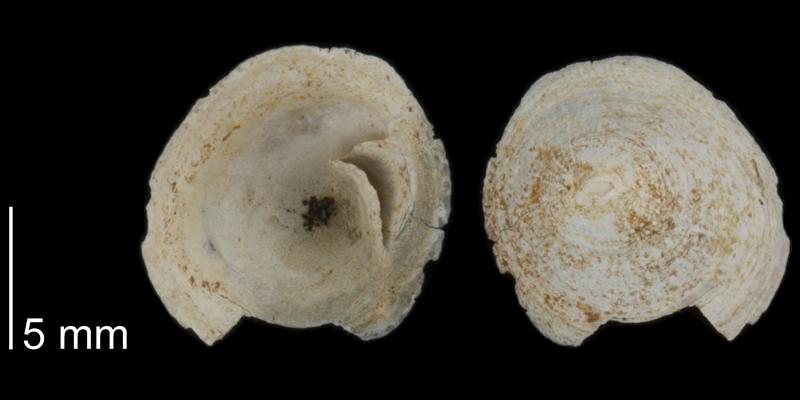 <i>Crucibulum lawrencei</i> from the Early Pleistocene James City Fm. of Beaufort County, North Carolina (PRI 70520).