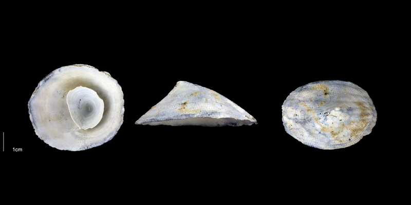 <i>Crucibulum multilineatum</i> from the Early Pleistocene Tamiami Fm. (Pinecrest Beds) of Sarasota County, Florida (PRI 70073).