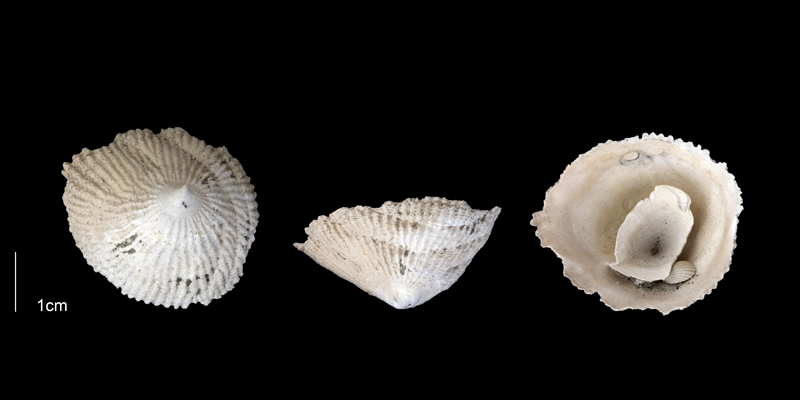 <i>Crucibulum multilineatum</i> from the Early Pleistocene Tamiami Fm. (Pinecrest Beds) of Sarasota County, Florida (PRI 70147).
