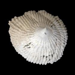 Crucibulum multilineatum
