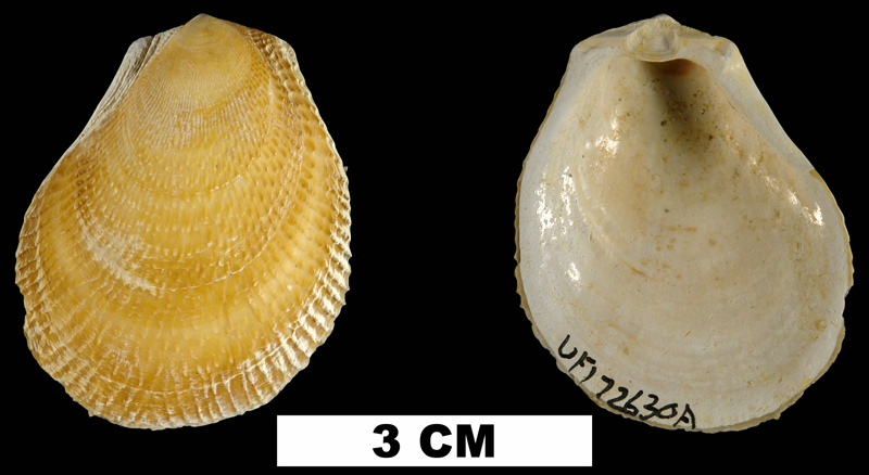 <i>Ctenoides floridana</i> from the Late Pliocene Tamiami Fm. (Pinecrest Beds) of Sarasota County, Florida (UF 172630).