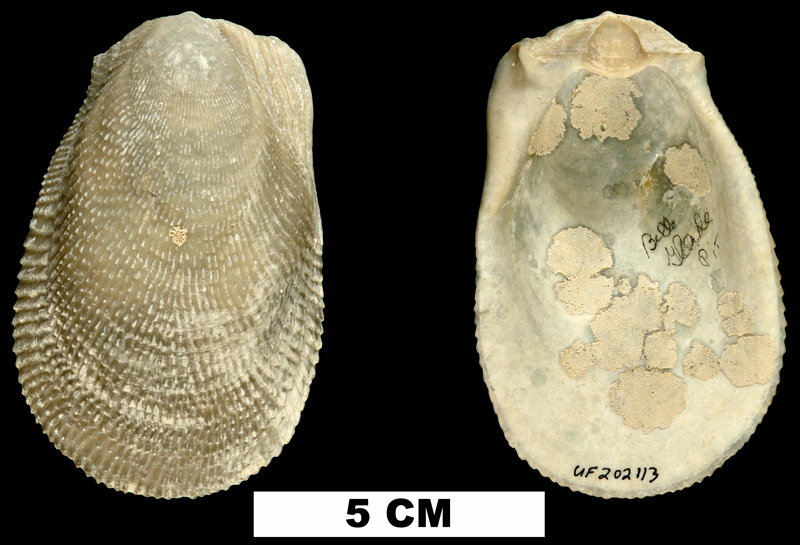 <i>Ctenoides scaber</i> from the Middle Pleistocene Bermont Fm. of Palm Beach County, Florida (UF 202113).