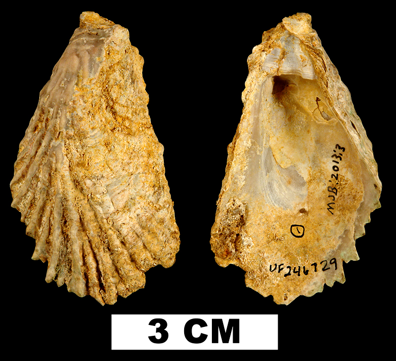 <i>Cubitostrea rugifera</i> from the Early Miocene Chipola Fm. of Liberty County, Florida (UF 246729).