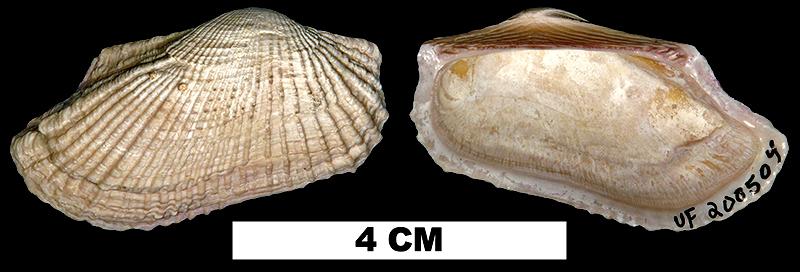 <i>Barbatia candida</i> from the Middle Pleistocene Bermont Fm. of Palm Beach County, Florida (UF 200504).
