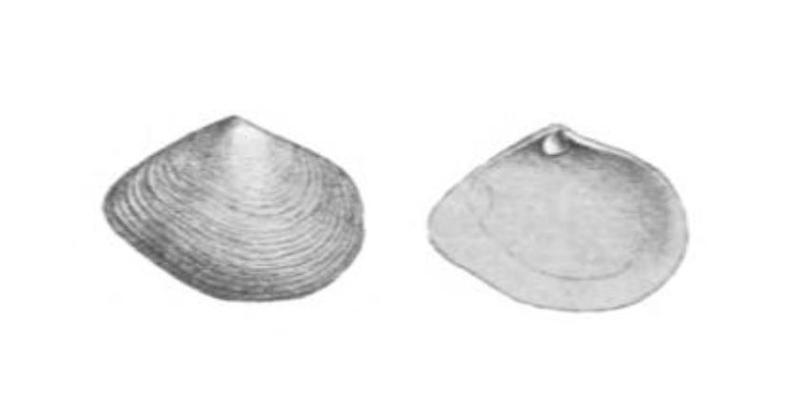 Specimen of <i>Cumingia tellinoides</i> figured by Conrad (1838, pl. 15, fig. 4).