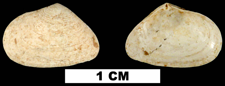 <i>Cumingia tellinoides</i> from the Middle Pleistocene Bermont Fm. of Glades County, Florida (UF 55647).