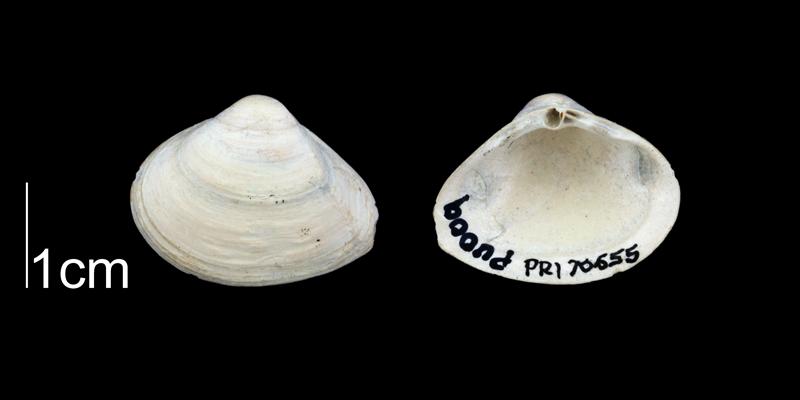 <i>Cumingia vanhyningi</i> from the Plio-Pleistocene Nashua Fm. of Putnam County, Florida (PRI 70655).