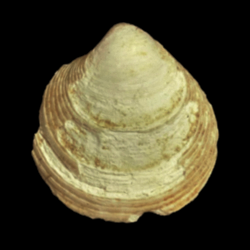 Cyclinella tenuis