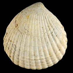 Cyclocardia granulata