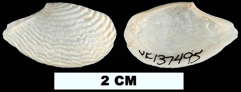 <i>Cymatoica marcottae</i> from the Late Pliocene Tamiami Fm. (Pinecrest Beds) or Early Pleistocene Caloosahatchee Fm. of Okeechobee County, Florida (UF 137495).