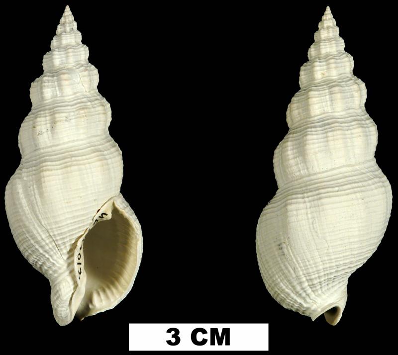 <i>Cymatophos lindae</i> from the Plio-Pleistocene (formation unknown) of Sarasota County, Florida (UF 149012).