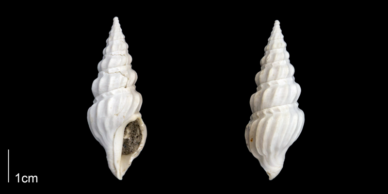 <i>Cymatosyrinx aclinica</i> from the Late Pliocene Tamiami Fm. (Pinecrest Beds) of Sarasota County, Florida (PRI 70275).