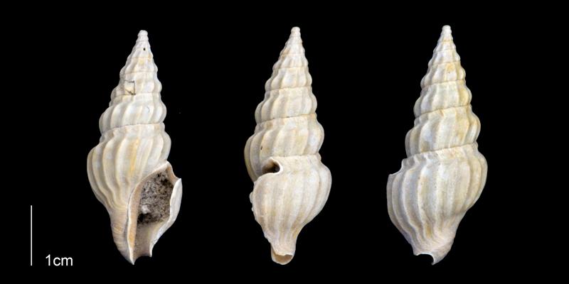 <i>Cymatosyrinx lunata</i> from the Late Pliocene Tamiami Fm. (Pinecrest Beds) of Sarasota County, Florida (PRI 70250).