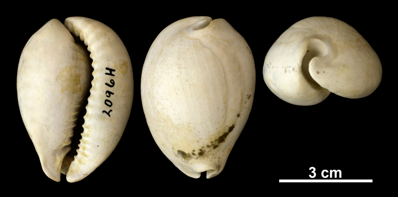 <i>Siphocypraea carolinensis</i> from the Plio-Pleistocene (formation unknown) of Okeechobee County, Florida (PRI 69853).
