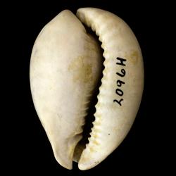 Siphocypraea carolinensis