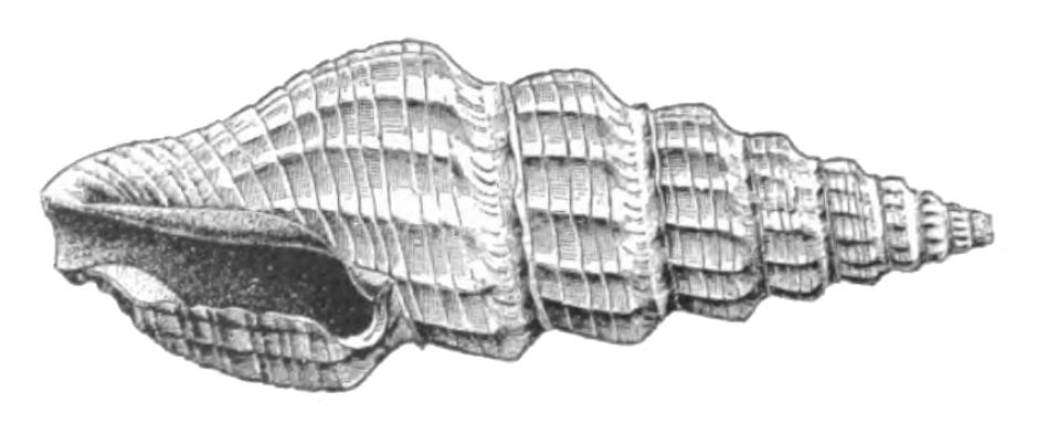 Specimen of <i>Pyrgospira acurugata</i> figured by Dall (1890, pl. 2, fig. 12); 21.2 mm in length.